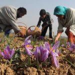 Saffron Safarado - Saffron và Gỗ Đàn Hương Bí Quyết Làm Da Rạng Rỡ - Hồng hoa tây tạng